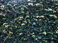 Photo Texture of Hedge