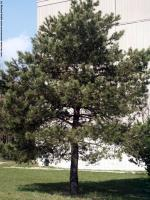 Conifer Tree