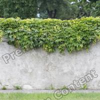 High Resolution Seamless Fence Ivy Texture 0001