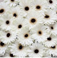 gerbera flowers 0001