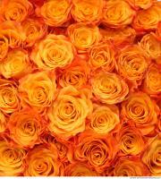roses flowers 0002