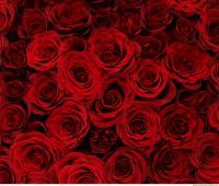 roses flowers 0001