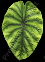 decal leaf 0002