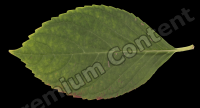 decal leaf 0004