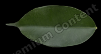 decal leaf 0009