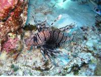 Pterois volitans Red lionfish 1