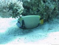 Red Sea Fish 11
