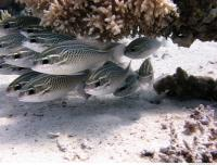 Red Sea Fish 6