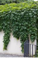 wall overgrown ivy 0009