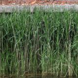 Grass Tall